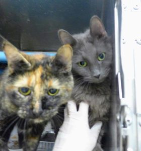 Scar (male, gray) and Nutmeg (female, tortie)11